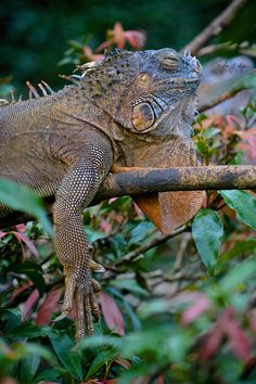 Iguanas are awesome creatures. They're so mellow. Something about them puts off a cool vibe.