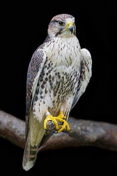 **Perched falcon by Tambako the Jaguar
