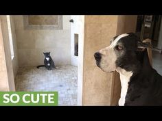 Great Dane patiently waits for cat to finish shower - YouTube