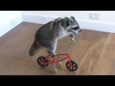 Funny Raccoon Videos ★ Keep Calm And Be A Raccoon [Funny Pet Media] - YouTube
