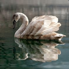 What a great transitional picture; from ugly cygnet to beautiful swan!