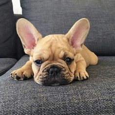 """""""I'm Pouting all day for no better reason than its Thursday"""", Gatsby, the bored French Bulldog Puppy,   @gatsby_frenchie"""