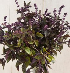 "Aromatto Organic Basil  Add color and scent to your bouquets with basil.  The tallest cut-flower basil in our trials. Aromatto has sturdy, purple stems, dark purple flower bracts, and purple-green bicolor foliage. Use as a filler accent or edible flower.Organically grown. Ht. 20-24"" • Edible Flowers: Use in any recipe that calls for basil, or to garnish drinks, salads, soups, pasta, and desserts."
