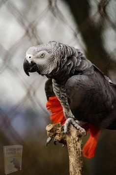 Exotic Birds, Colorful Birds, Exotic Pets, Parakeet Care, Food Dog, Pet Hotel, African Grey Parrot, Parrot Toys, Mundo Animal