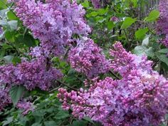 what is spring withouth the sight and smell of lilacs