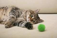 Do Hypoallergenic Siberian Cats get lonely if left home alone over the Holidays? - See more at: www.hypoallergeniccats.co.uk