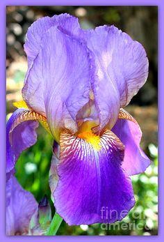 """""""Delicate Purple Iris"""" by Carol Groenen  #iris #irises #purpleiris #springflowers #spring"""