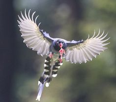 Blue Magpie. by Richard McManus on 500px