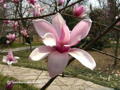 Magnolia tree outside fun pinterest magnolia trees outside fun pinterest magnolia trees magnolia and gardens mightylinksfo