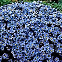 Professor A. Kippenberg Dwarf Asgters (dark blue-violet) ... I'm going to have trouble planning this garden, I think!