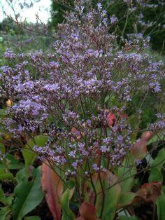 Limonium platyphyllum Perennial Grasses, Herbaceous Perennials, Ornamental Grasses, Hardy Geranium, Stipa, Sea Holly, Crocosmia, Alpine Plants, Primroses