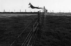 Leaping Lurcher, 1973  Fay Godwin