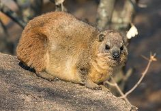 Rock Hyrax.  Strange but true the Hyrax is related to the elephant.   Large colonies inhabit rocky mountain outcrops and so they are a favourite food of the Vereaux Eagle. Photo by Warwick Tarboton
