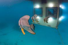 You can watch plenty of Nemos swim by you at the Manta Resort's new underwater room. Manta Resort is located on Pemba Island, part of Zanzibar Hotel Subaquático, Das Hotel, Hotel Stay, Tanzania, Hotels In Bali, Zanzibar Hotels, Underwater Hotel Room, Underwater Life, Manta Resort