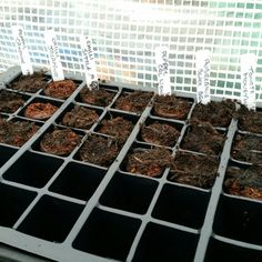 Re-sowed chillies and tomatoes after poor germination of last lot #growyourown #allotment #gardening