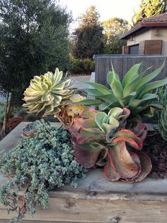 Succulents can get huge