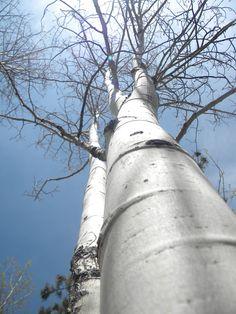 Aspen trees in Denver, CO. 2010