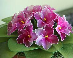 African Violet plant, nyon flowers, plant, flower arrangement