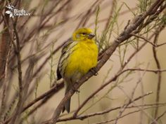 canary-serinus-canary-madeira-island
