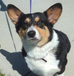Bebe is an adoptable Welsh Corgi Dog in Waterloo, IA.  ...