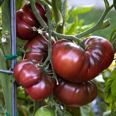 tomato black krim. These are some of the best heirlooms ever...
