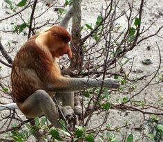 Proboscis monkey in Sabah and Sarawak - Borneo