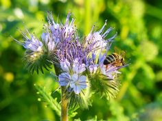 Phacelia is an annual quick-growing, cool season crop. Great Basin Seed has the best price in bulk seed and offers custom mixes.