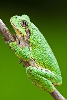 Eastern gray tree frog.  ©Jerry Mercier