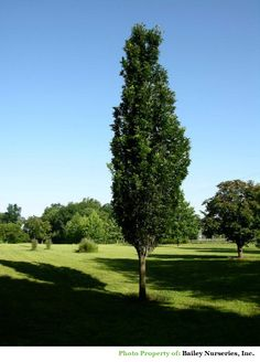 Regal Prince Oak: zone 4 full sun, h:50' w:10-20'. Upright vigorous growing oak with dark green foliage that is silvery underneath. Yellowish brown fall colour. Becomes more oval as its matures. A cross between Pyramidal English Oak (Q. robur fastigiata) x White Swamp Oak (Q. biolor) introduced by Heritage Trees Inc.