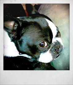 Boston Terrier's squishy sleepy I've-got-my-eye-on-you face.