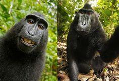 La ridícula disputa por el selfie de un macaco - Engadget en español
