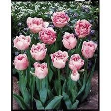 Kuvahaun tulos haulle peony tulips