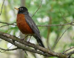 ohio robin bird   Ohio Birds and Biodiversity