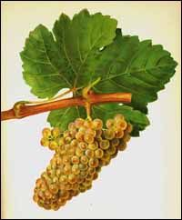Classic Image of Chenin Blanc GrapesChenin Blanc originated in Anjou, in the Loire Valley of northwestern France. It was known as far back as the Ninth Century and later expanded into the Rhône Valley in eastern France. In addition to France, Chenin Blanc is grown in Argentina, Chile, Australia, New Zealand, and the United States, in particular in California, where it has taken a back seat to Chardonnay. It is the most widely planted white grape variety in South Africa, where it is called…