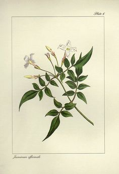 Vintage JASMIN Botanical Print Antique by VintageInclination