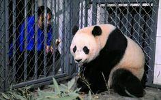 A worker feeds U.S.-born giant panda Bao Bao as she arrivesat the Chengdu Panda Breeding Research Center in Chengdu after the long flight from USA