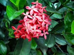 Care Of Ixora Plant: How To Grow Ixora Shrubs - Ixora is a tropical to semi-tropical evergreen shrub. The plant is often grown as an annual in temperate and cooler climates. Get more growing info in this article. Florida Landscaping, Florida Gardening, Tropical Landscaping, Landscaping With Rocks, Tropical Plants, Florida Plants, Landscaping Melbourne, Tropical Gardens, Small Gardens