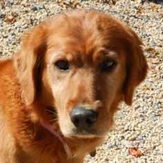 Available Dogs at the Delaware Valley Golden Retriever Rescue - She is a beautiful Golden! I can't wait to see her get into a great home.