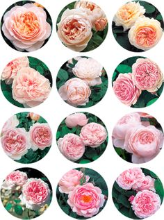 Ange David Austin roses are my favorite and very elegant they are lime peonies and I think they would look great with the cymbidium orchids!   David Austin Roses - classic beauties