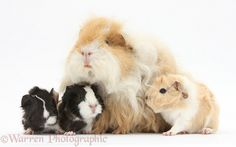Alpaca Guinea pig and babies photo