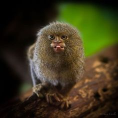 African animals are very exclusive to see. There are lots of exclusive animals pictures available in africa. Pygmy Marmoset, Photography Gallery, African Animals, Primates, Photoshop Tutorial, Cute Animals, Wild Animals, Animal Pictures, Dogs