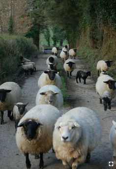 Flock of sheep 🐑 🐑 🐑