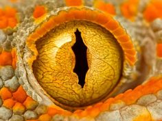 """""""A close-up shot of a Tokay Gecko. Their eyes remind me of old-fashioned keyholes."""