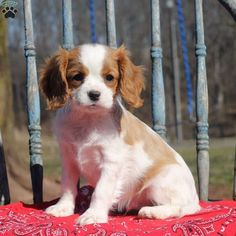Ike is a gentle Cavalier King Charles Spaniel puppy who will steal your heart in a minute. This precious pup is vet checked, up to date on vaccinations Spaniels For Sale, Spaniel Puppies For Sale, Cute Puppies, King Charles Spaniel, Cavalier King Charles, Dog Competitions, Puppy Facts, Puppy Mix, Spaniel Breeds