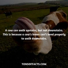 pinterest: @aliciamarie888 Cow Facts, Tiger Facts, Bird Facts, Dolphin Facts, Whale Facts, Dinosaur Facts, Fun Facts About Animals, Animal Facts, Unusual Facts