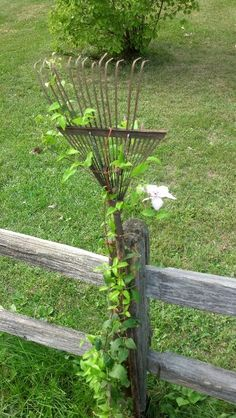 I discovered this old rake in my yard. It makes for a perfect trellis to help my clematis grow!