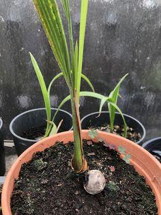In diesem Fall ist diese tolle Palme (noch) nicht ausgepflanzt und auch relativ jung mit einem guten Jahr. Aber diese beeindruckende Fiederpalme wächst zu einer richtigen Pracht heran! Im Alter sind sie allerdings relativ teuer, daher kann die Aufzucht aus Samen eine Option sein! Alter, Plants, Palm Tree Types, Seeds, Amazing, Plant, Planets