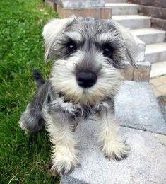 #MiniatureSchnauzer a Loyal Dog http://www.pindoggy.com/pin/9112/