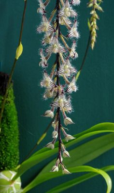 Bulbophyllum lindleyanum, aka Lindley's Bulbophyllum, found in India,Thailand and Myanmar. Orchids by Marlow. this looks like a frilly orchid