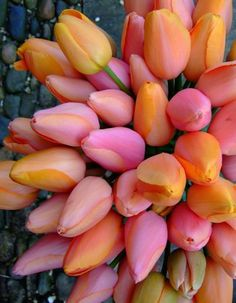 - The tulips that grace my garden every spring. The tulips that grace my garden every spring. Pink Tulips, Tulips Flowers, My Flower, Daffodils, Fresh Flowers, Spring Flowers, Planting Flowers, Beautiful Flowers, Tulips Garden
